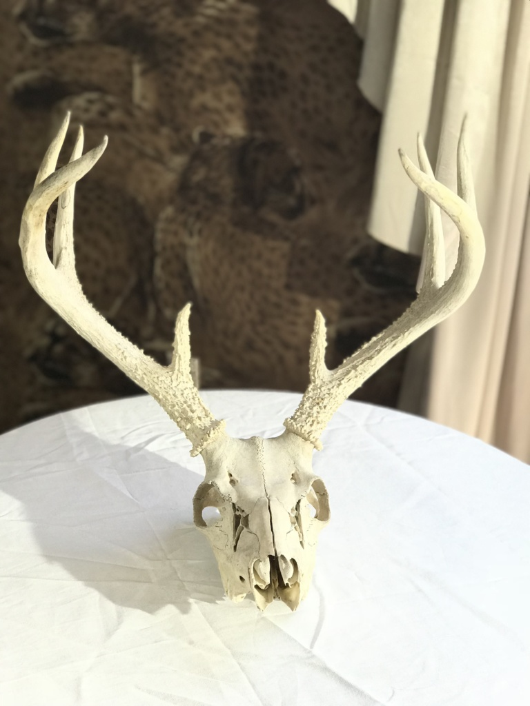 Whitetail Buck skull, after the cleaning process.